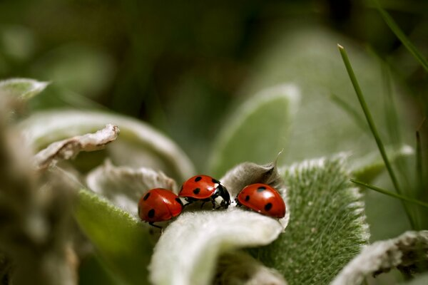 Ladybugs Close Up