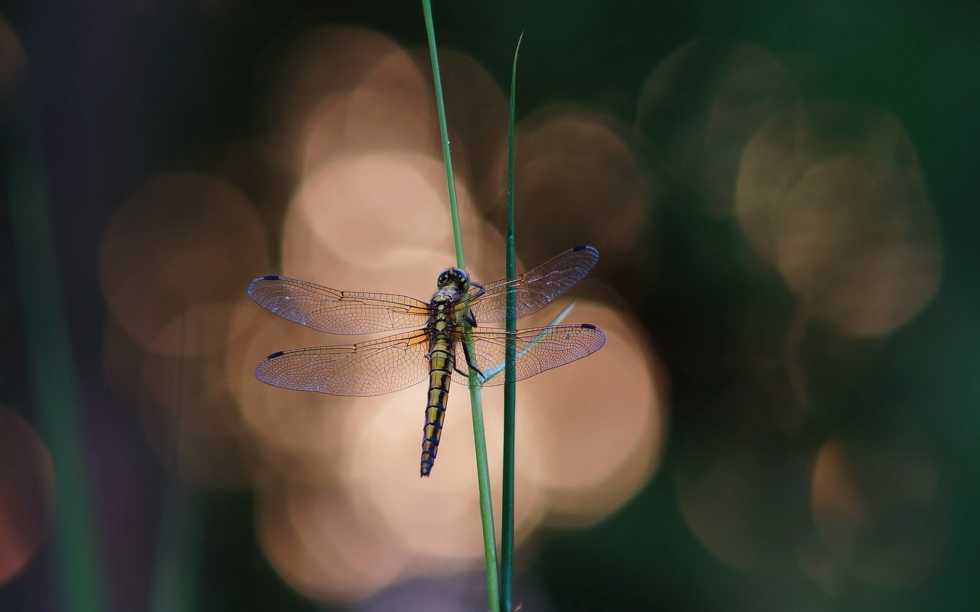 Blue Dragonfly On A Blade Of Grass Android Wallpapers