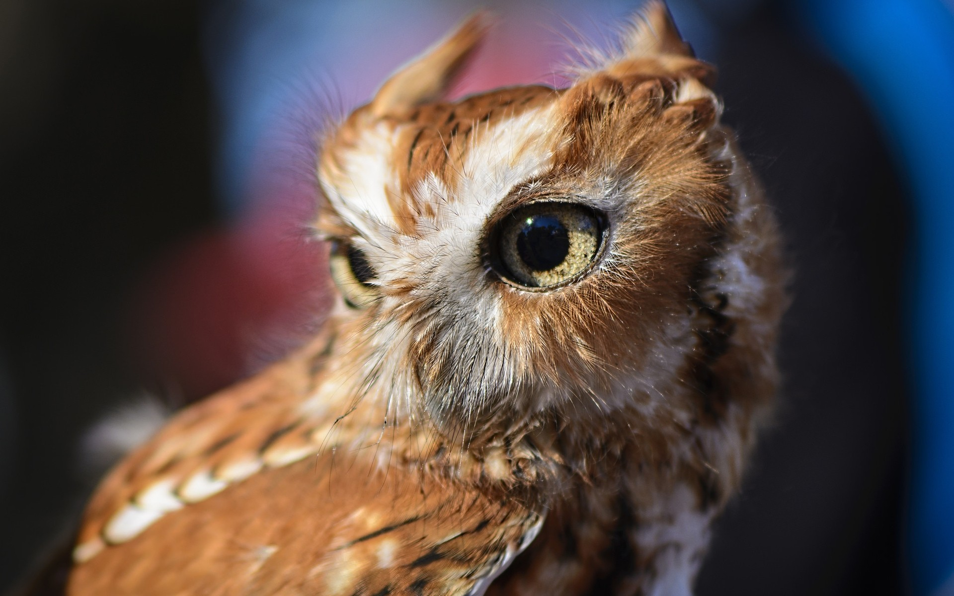 owl wildlife animal bird nature portrait little eye wild raptor cute looking outdoors