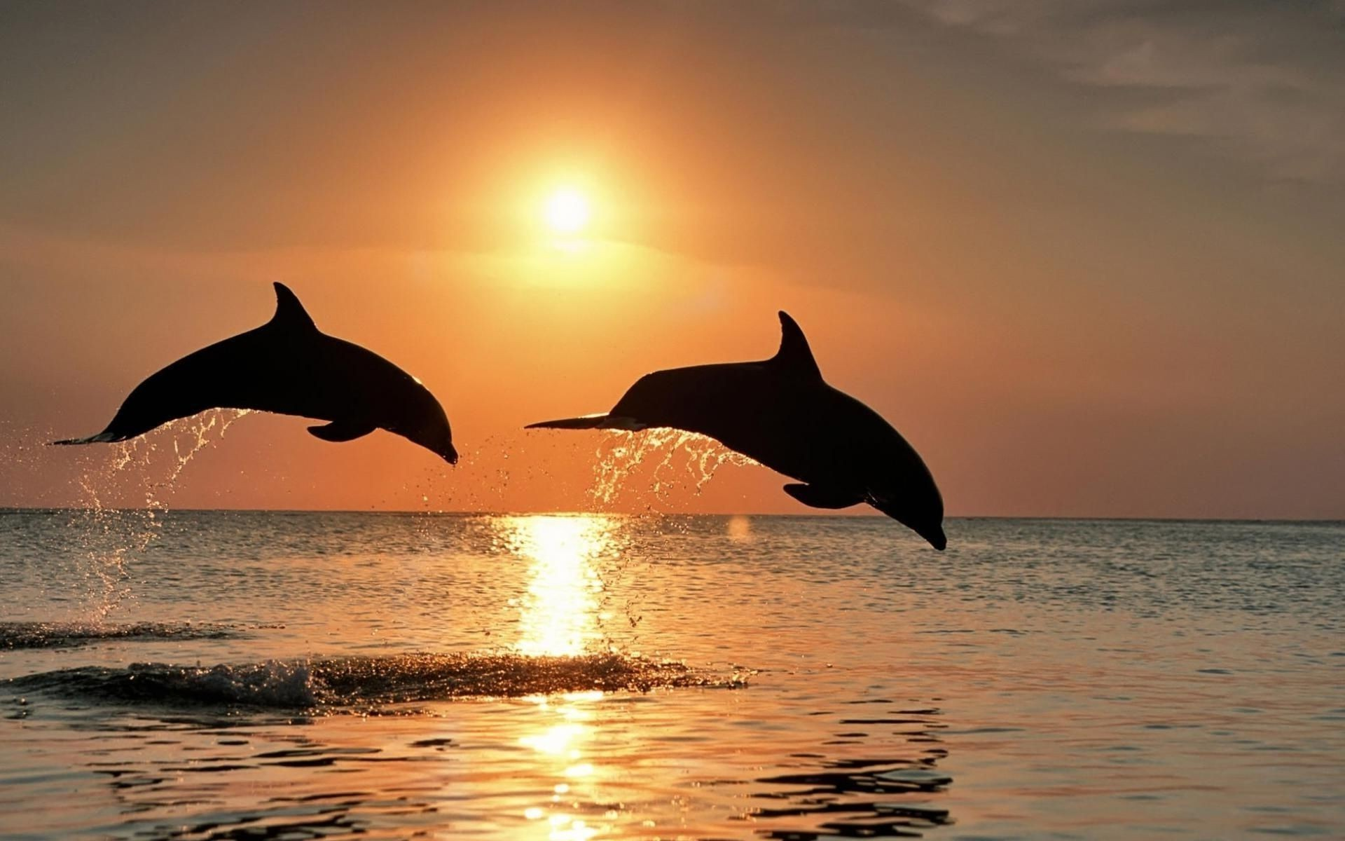 dolphin water ocean blower sunset sea whale sun mammal swimming dawn outdoors nature backlit