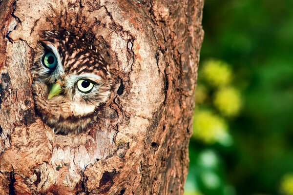 Owl in Tree Hollow