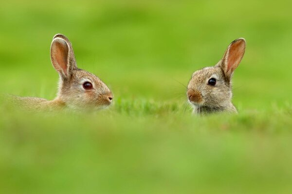Two Cute Rabbits in Grass