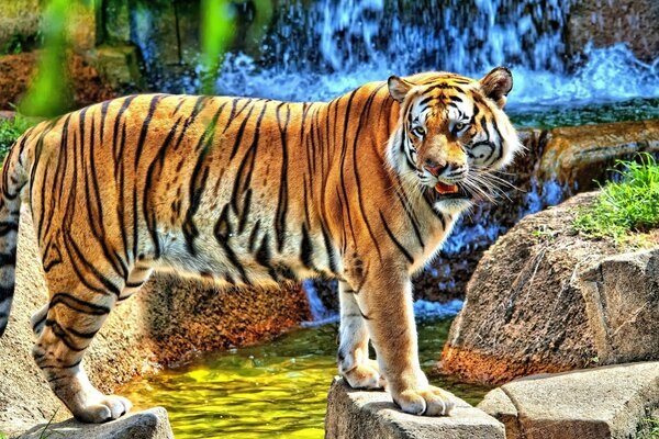 HDR Young Tiger