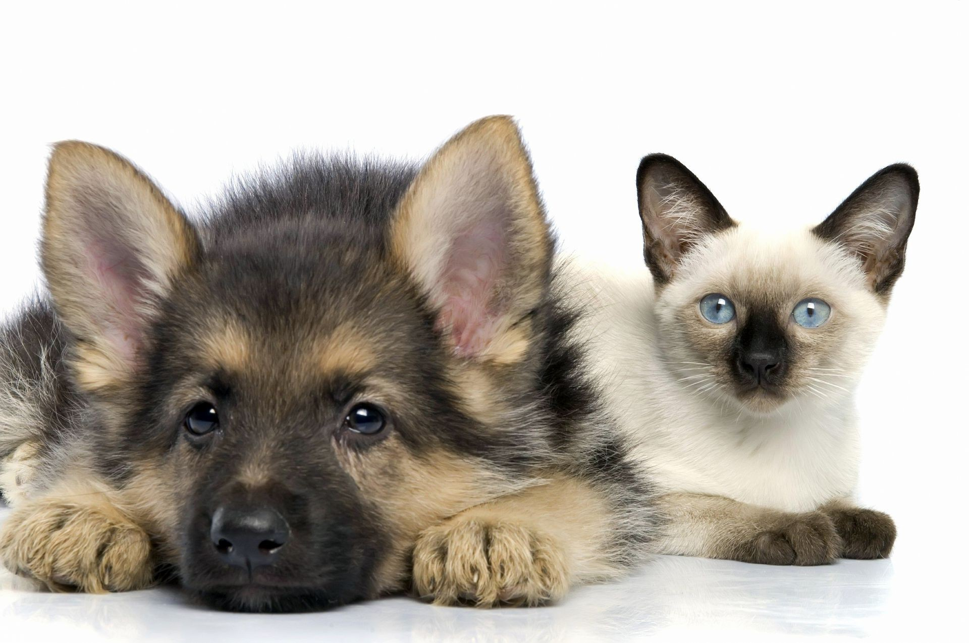 animals cute dog canine pet mammal animal purebred studio puppy little domestic portrait eye sit pedigree looking breed fur young adorable
