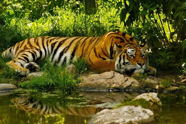 Tiger resting near the pond