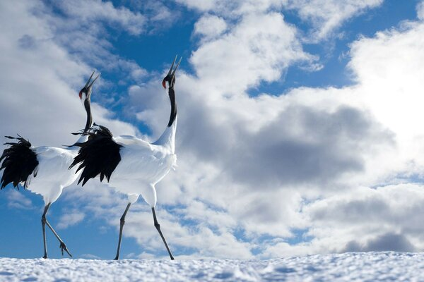 sky Birds clouds Japanese crane pair