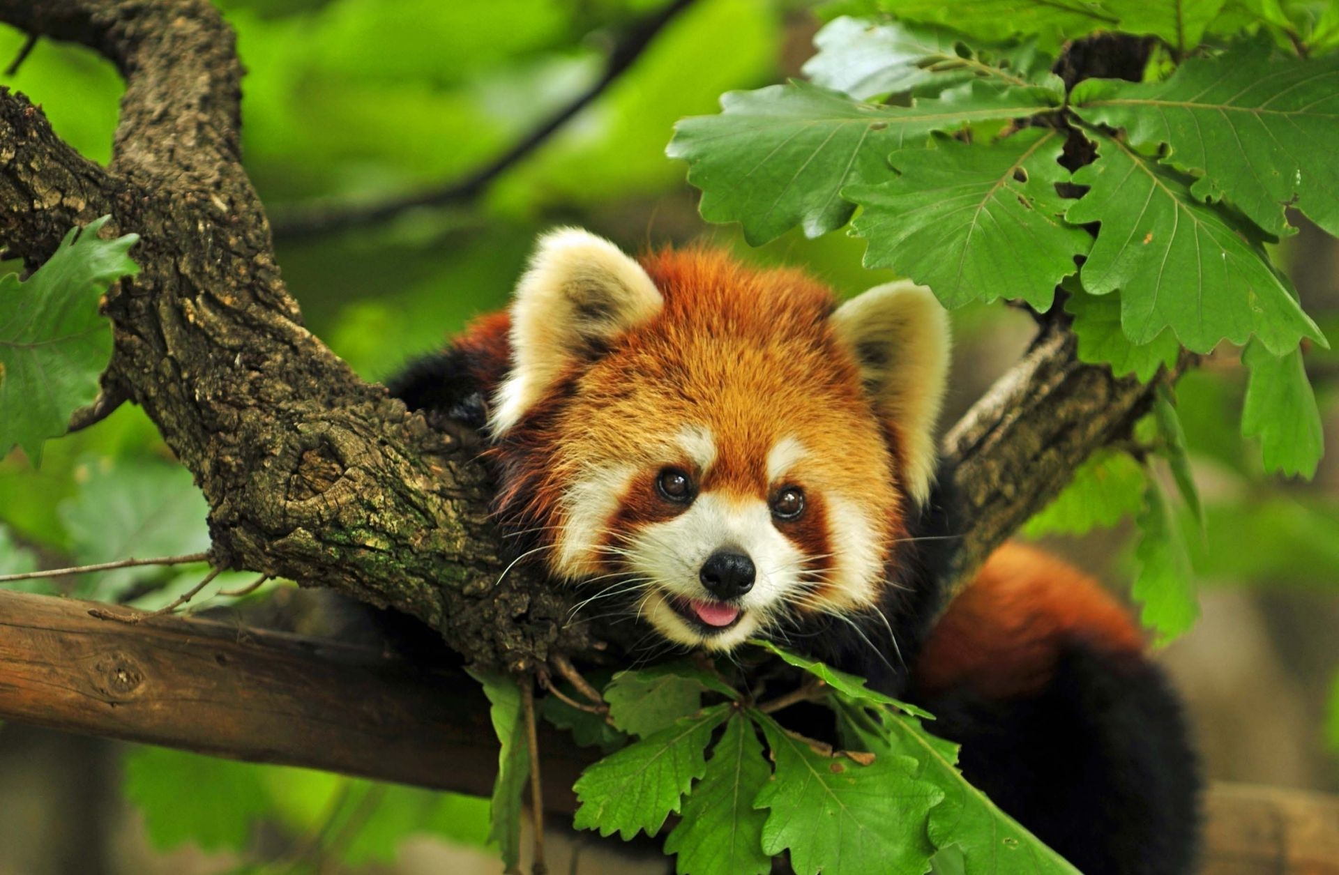 the Red Panda tree branches