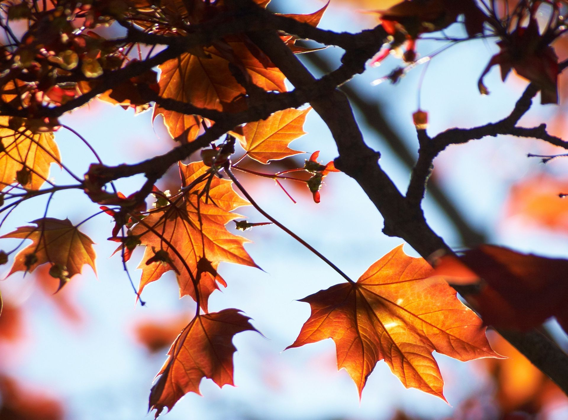 autumn light leaves of the Maple tree branches sky macro