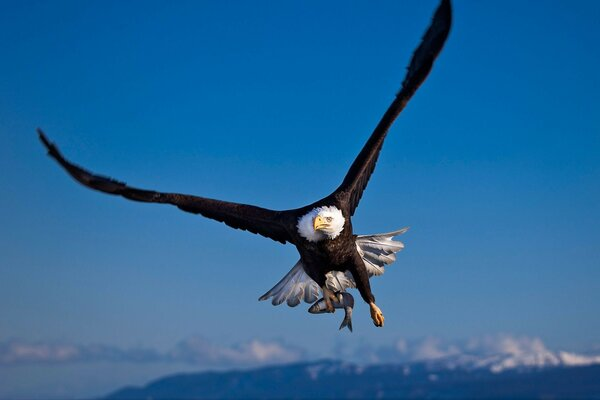 fish Poultry hunting bald eagle prey eagle