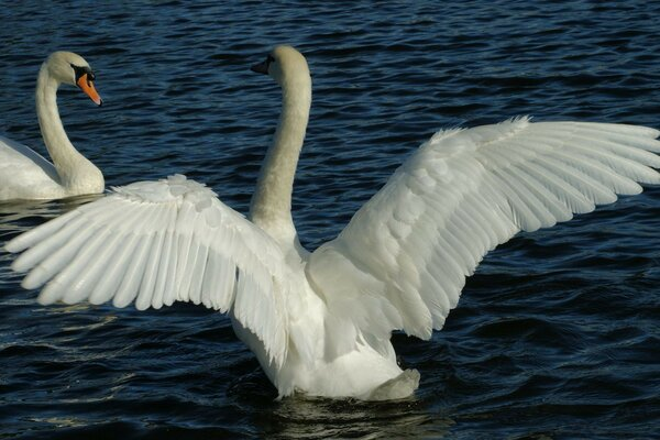 wings birds swans Pond the pair of feathers white water