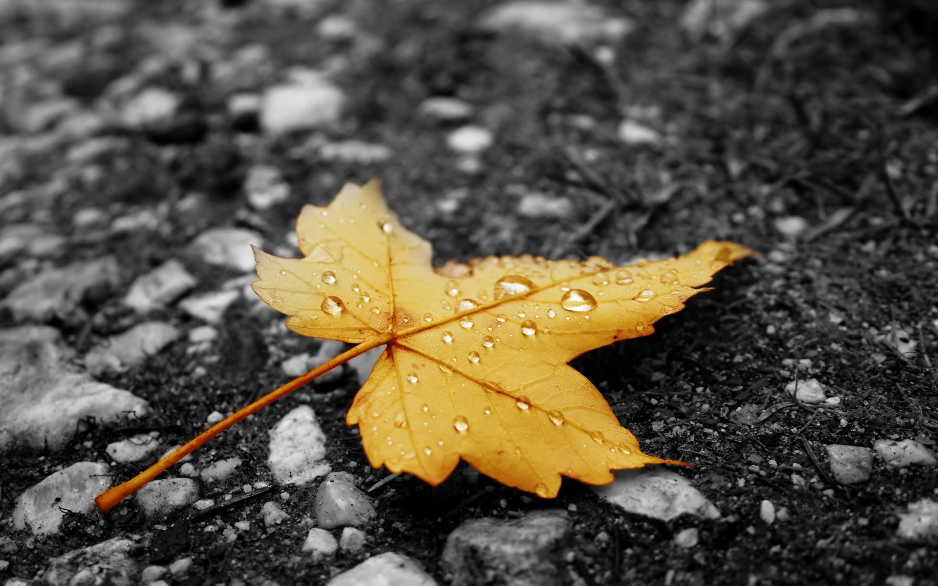 yellow Leaf autumn asphalt droplets of rain