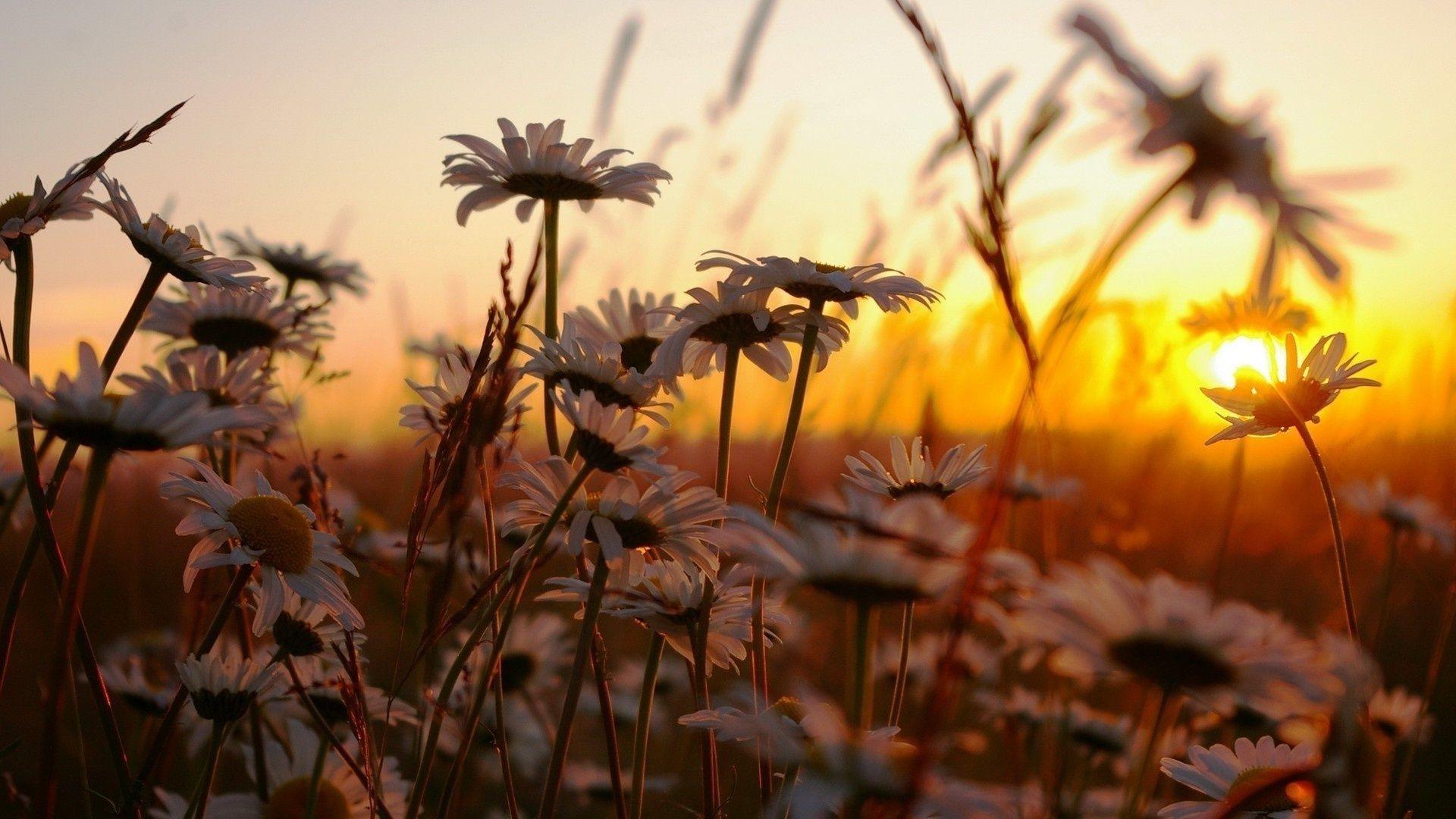 природа цветы трава мельниц восход солнце  № 2556615  скачать