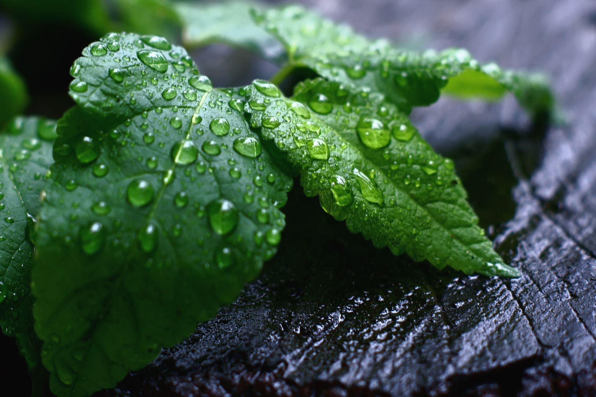 leaves leaf flora rain drop nature dew growth wet garden environment freshness water close-up droplet