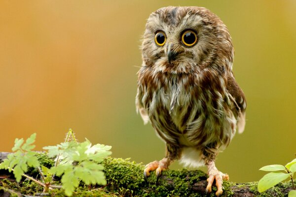 Bird owl chick