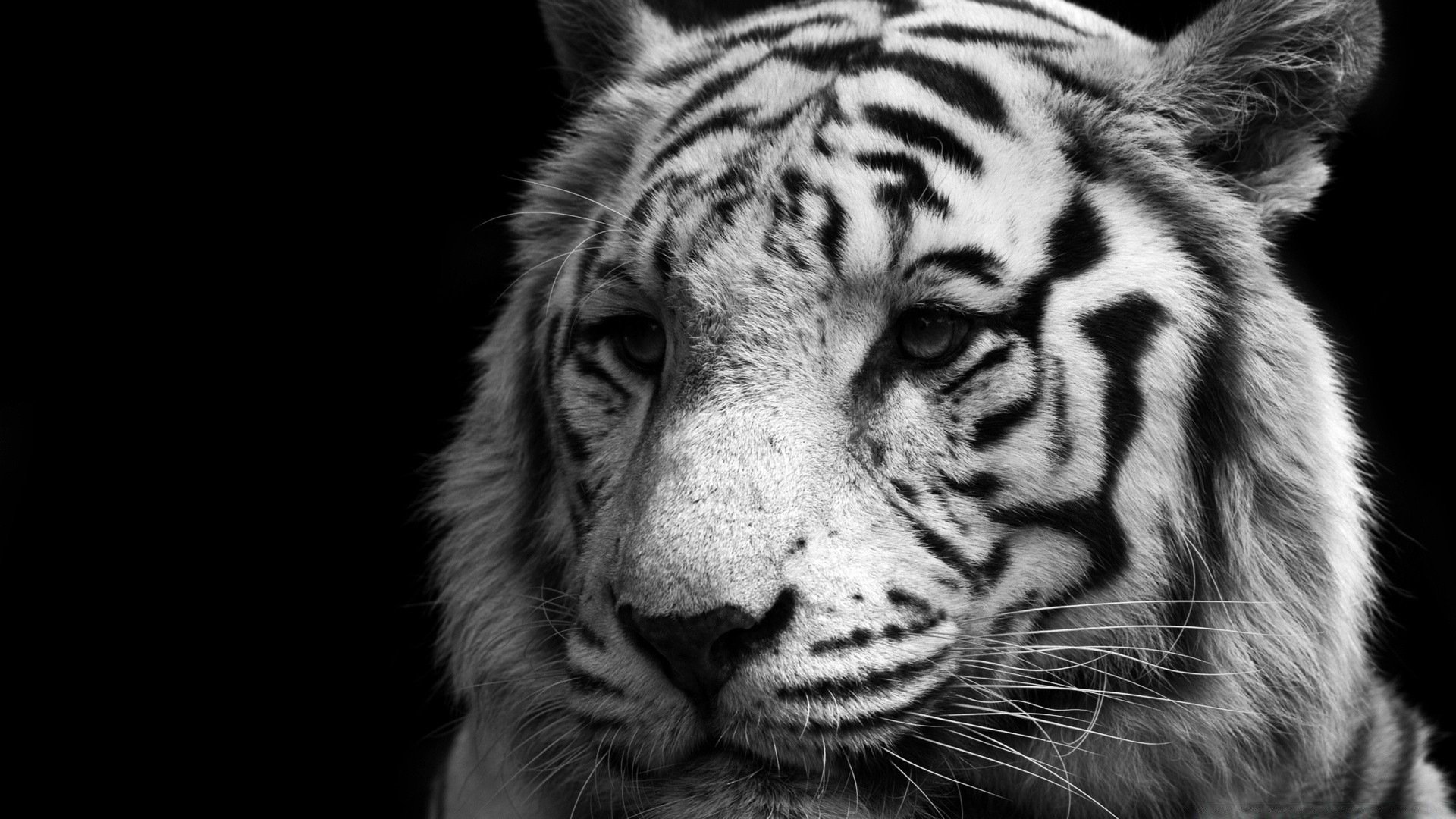 Tiger Black And White Phone Wallpapers