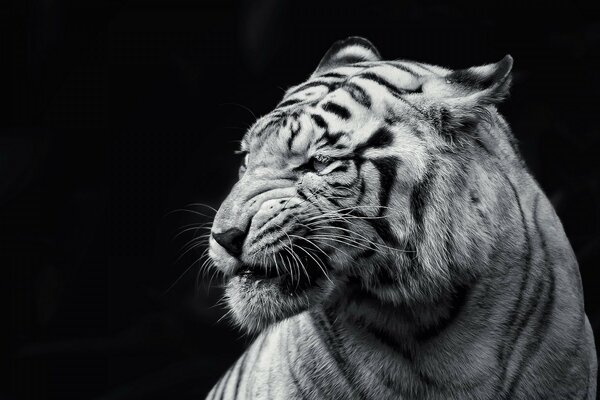 Tiger Black and White
