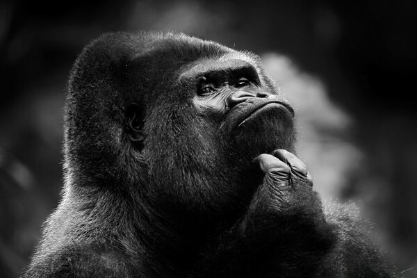 Thoughtful Gorilla BW