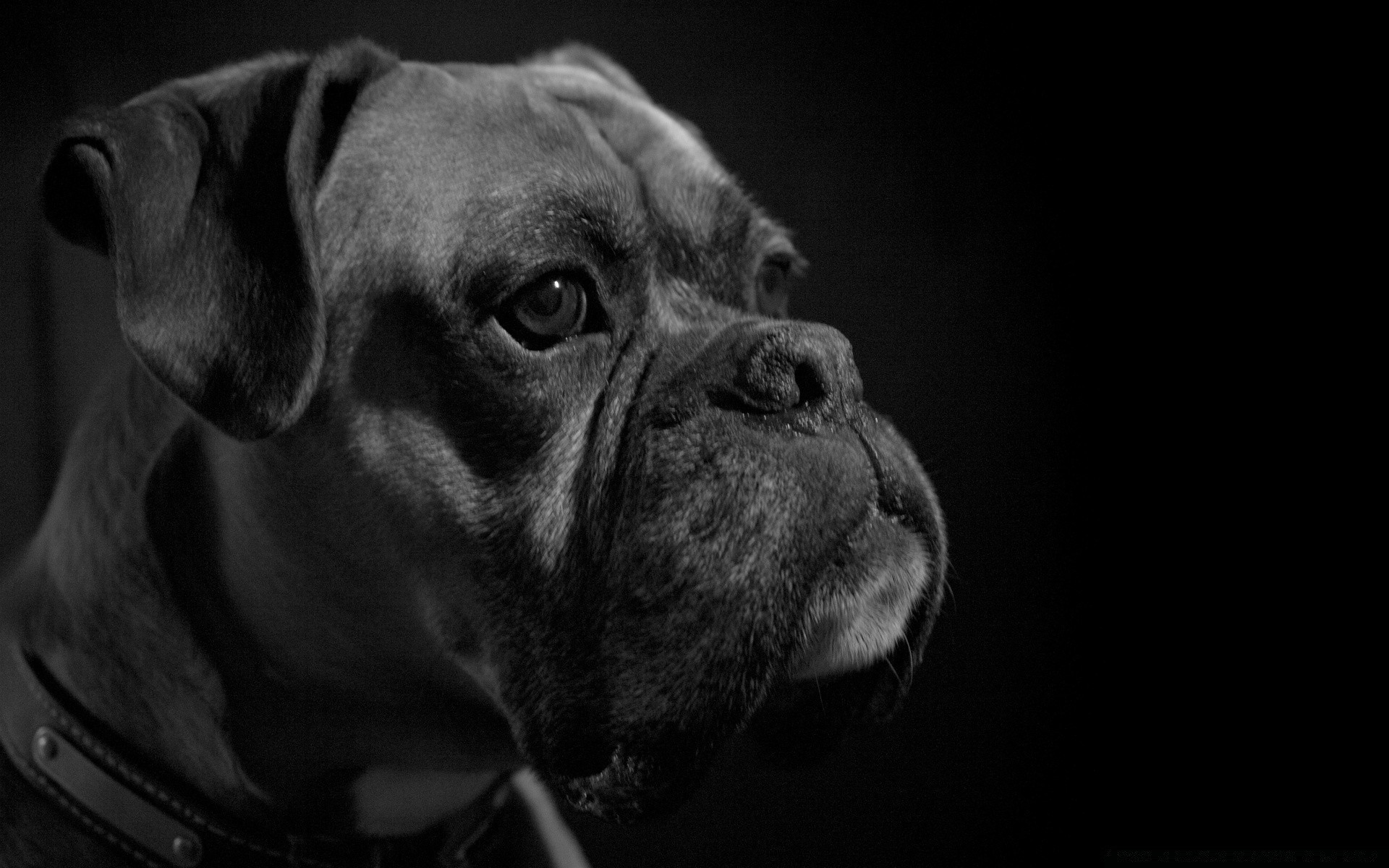 black and white dog portrait canine monochrome animal pet mammal studio puppy one cute