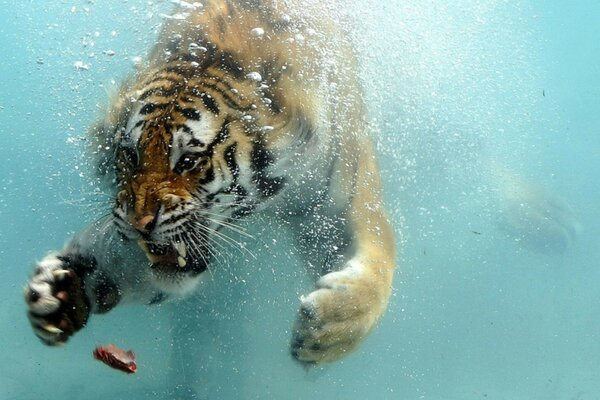 floating water situation tiger Tiger meat