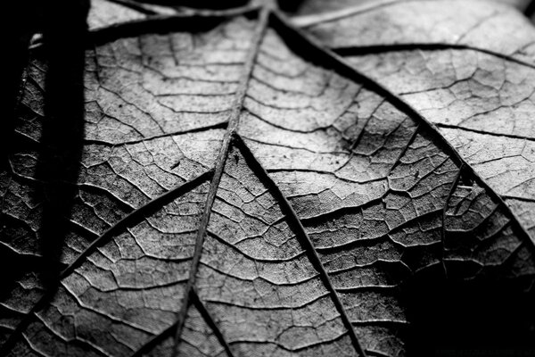 Dry Leaf, Black And White