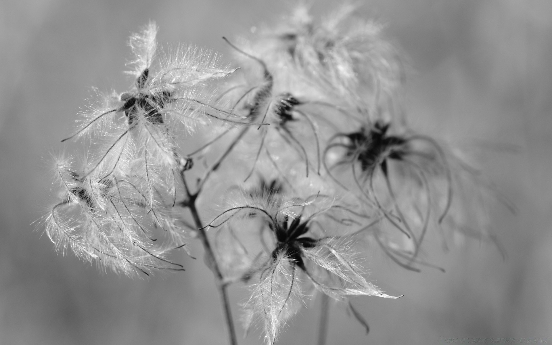black and white dandelion nature spider winter downy monochrome flower delicate flora fragility weed insect summer seed close-up grass light