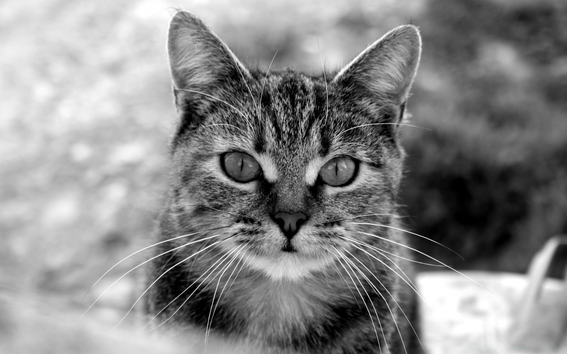 black and white cat animal cute fur pet portrait nature kitten mammal eye domestic