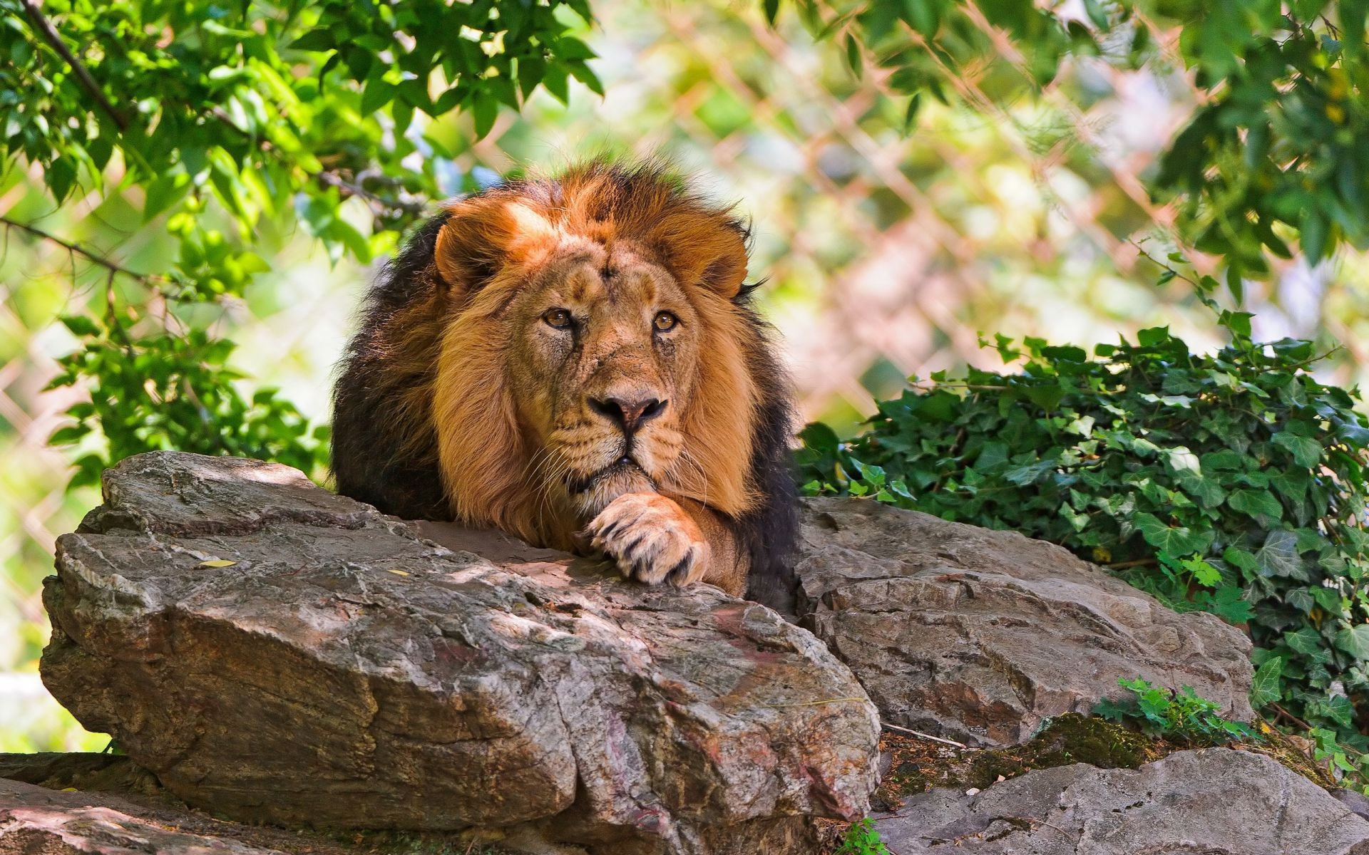 Lion resting on rock