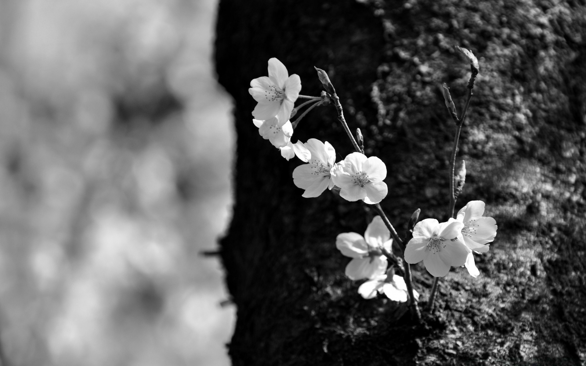 Sakura Black And White Android Wallpapers For Free