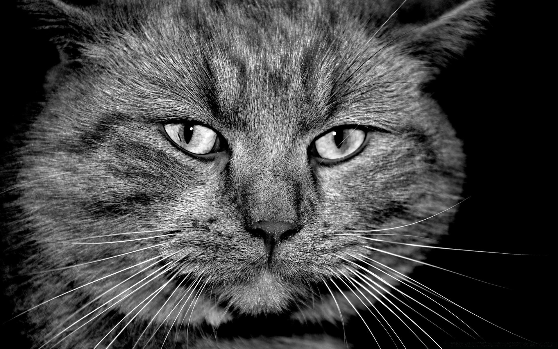 black and white cat portrait pet cute mammal animal fur kitten downy domestic eye head hair grey looking