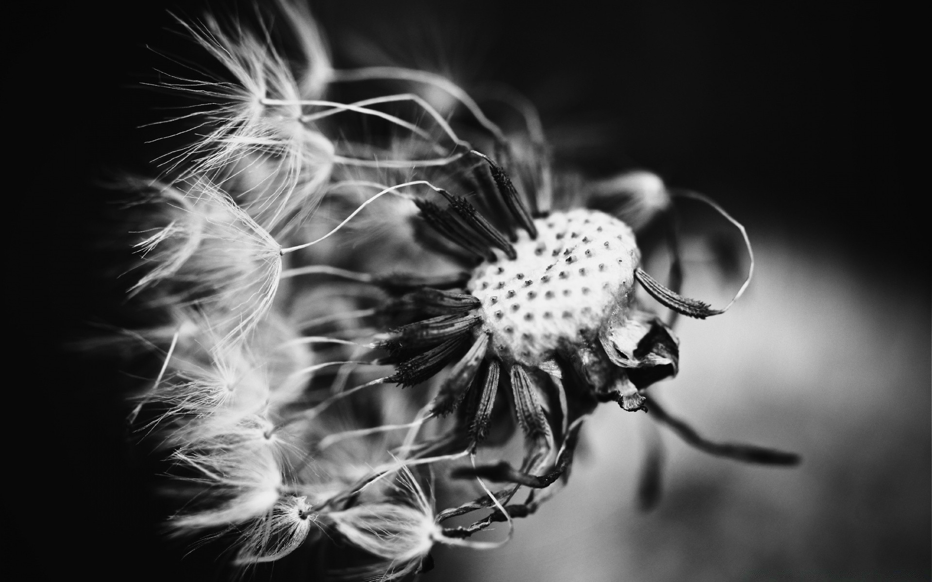 Dandelion Black And White Android Wallpapers