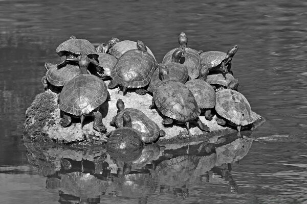 Turtles Black and White