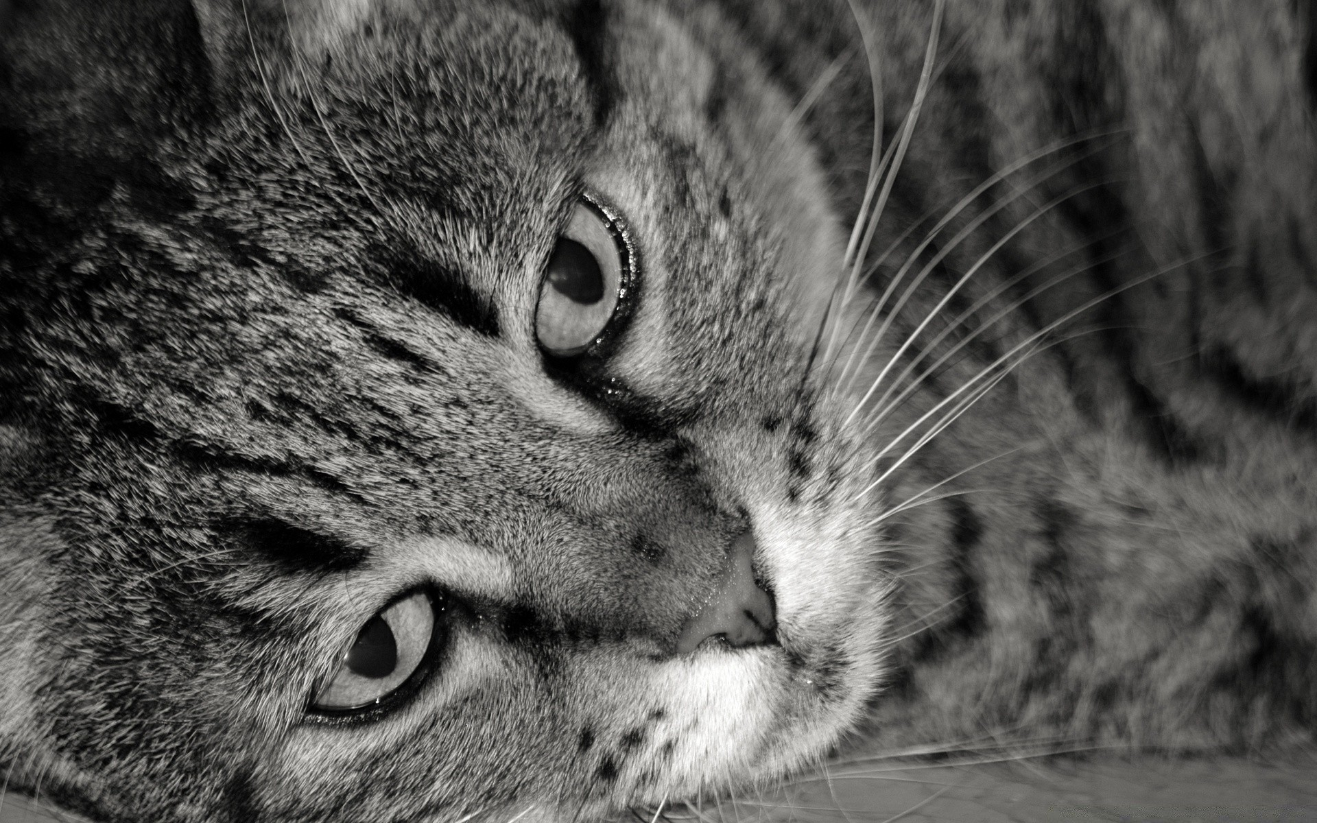 Tiger Cat Black And White Iphone Wallpapers For Free