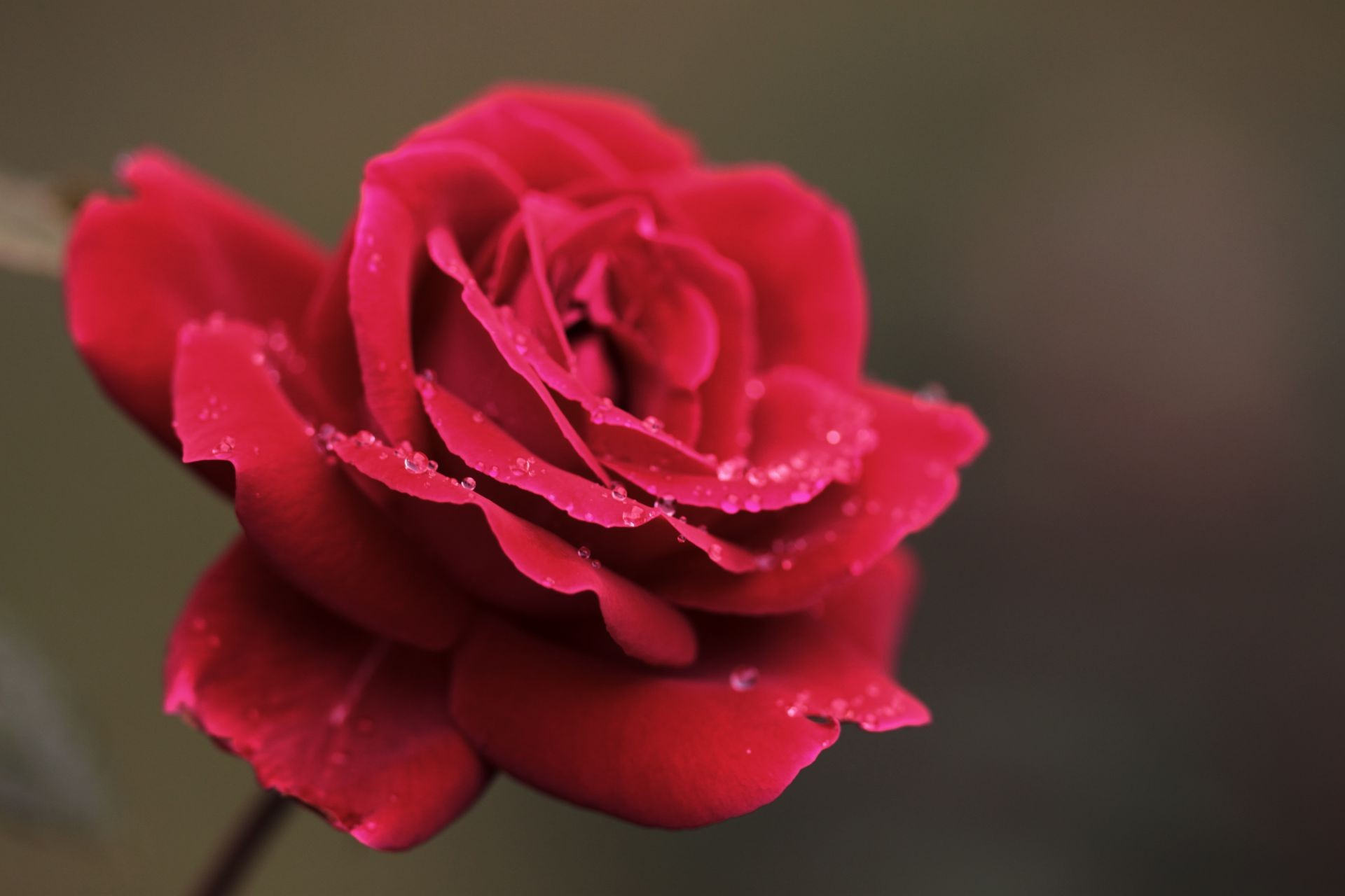 the petals of the dew red flower macro drops Rosa