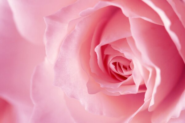 Light Pink Rose Macro