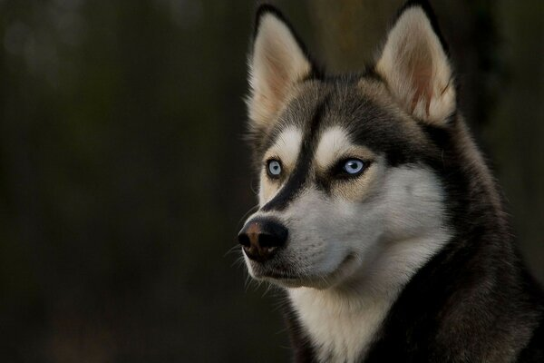 Wallpaper animals dog husky look