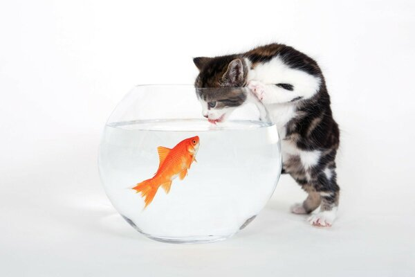 Kitten vs. Fish