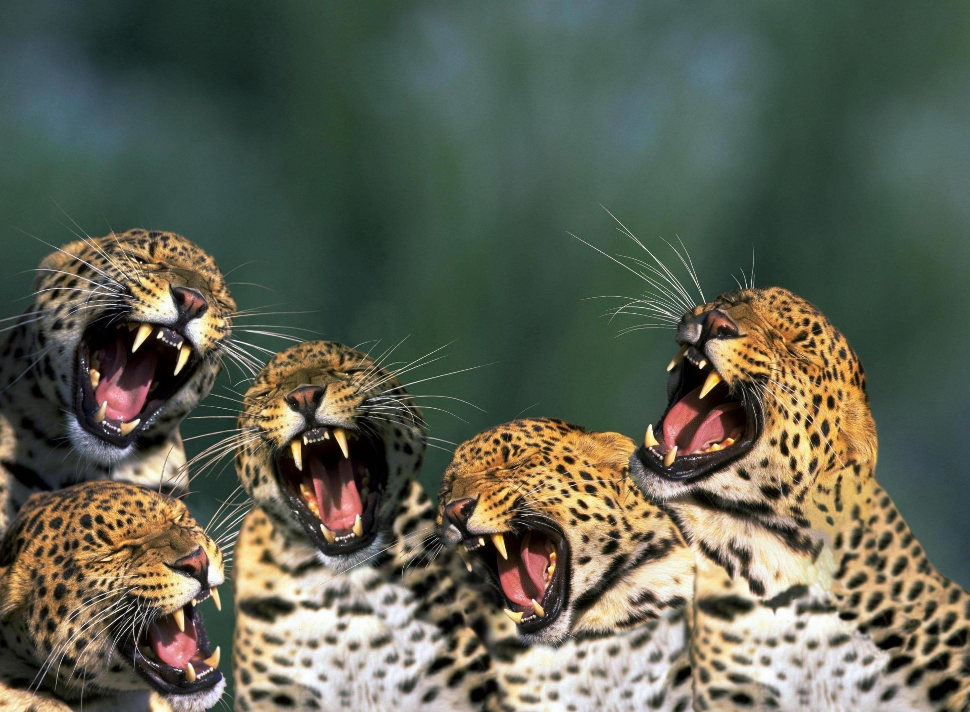cheetahs leopards teeth
