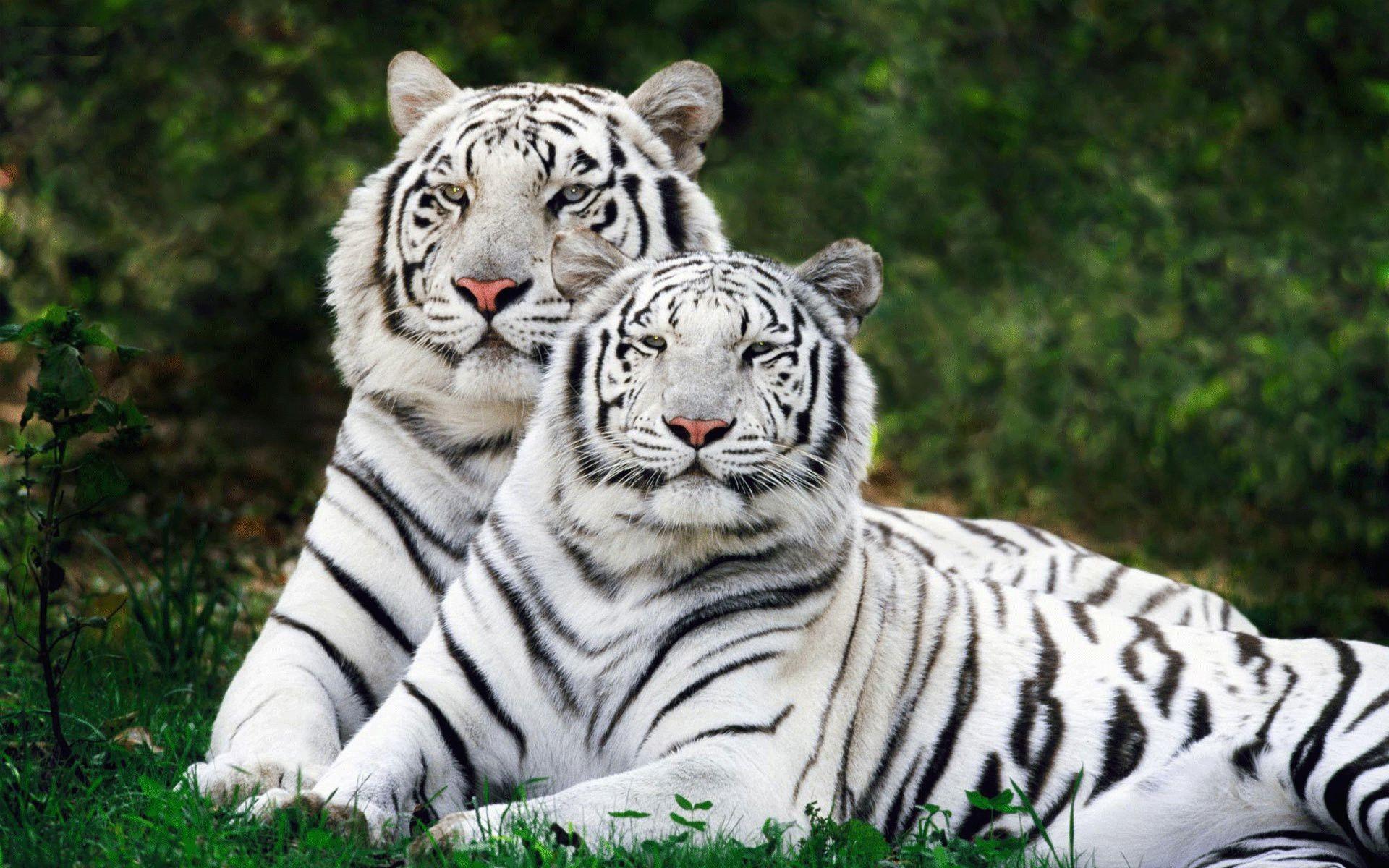 тигр бенгальский фото #10
