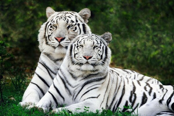 the tigers are albinos Polyana