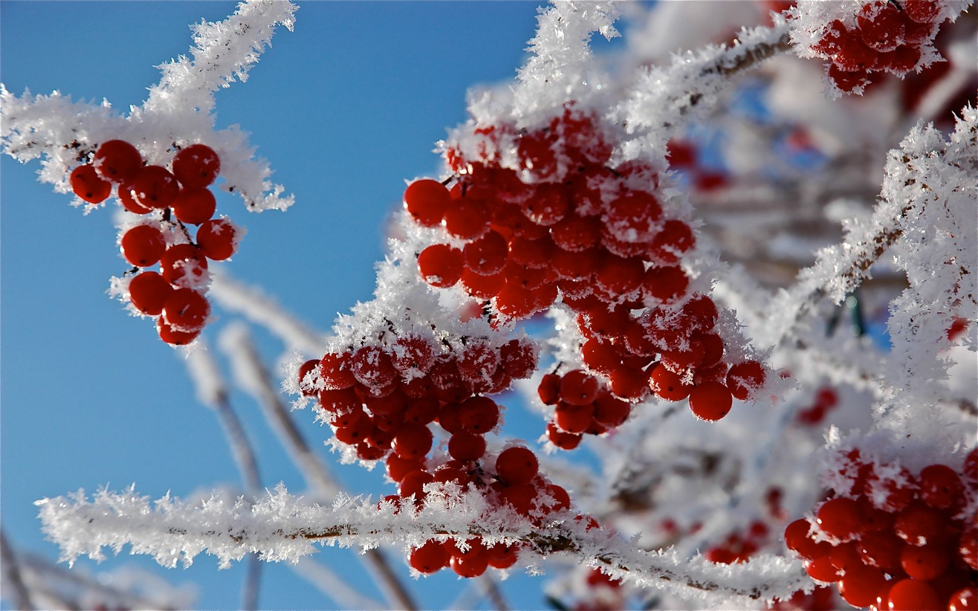 berries winter frost snow nature branch bright season tree berry christmas ice rowanberry outdoors leaf rowan shining frozen color cold