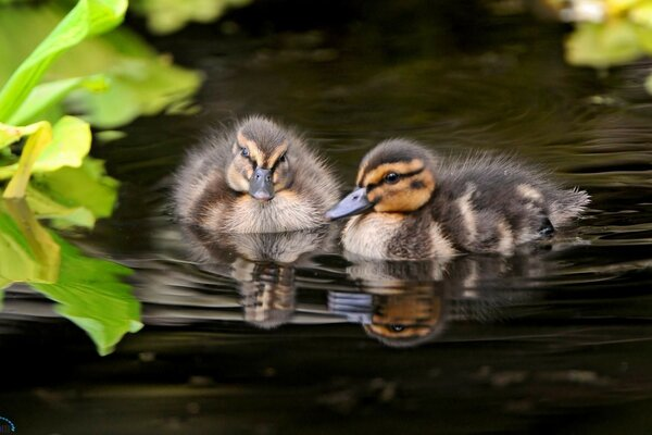 The nature of ducklings water