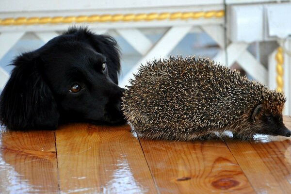 Hedgehog Dog our animals