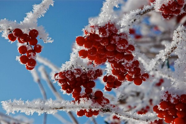 berries tree snow red