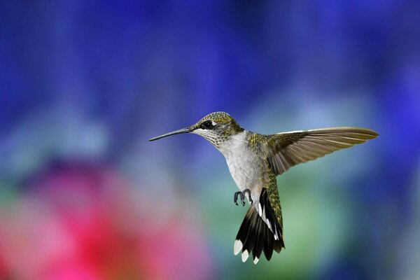 bird. Hummingbird macro