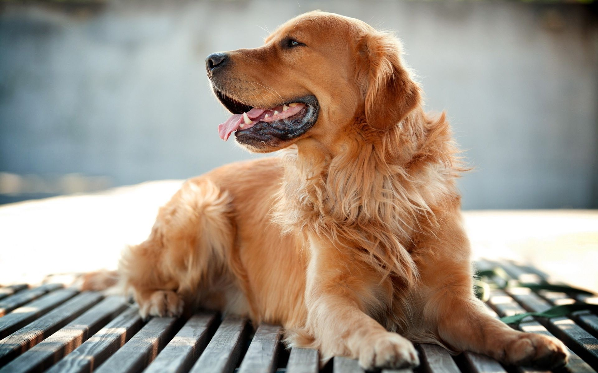 Wallpaper Animals Dog Retriver Phone Wallpapers