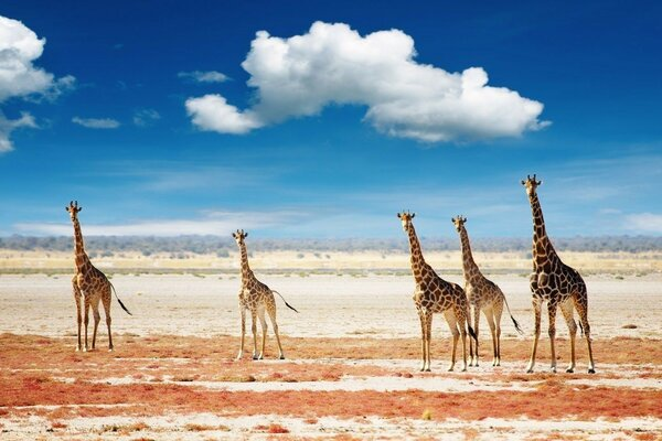 Giraffes sky clouds