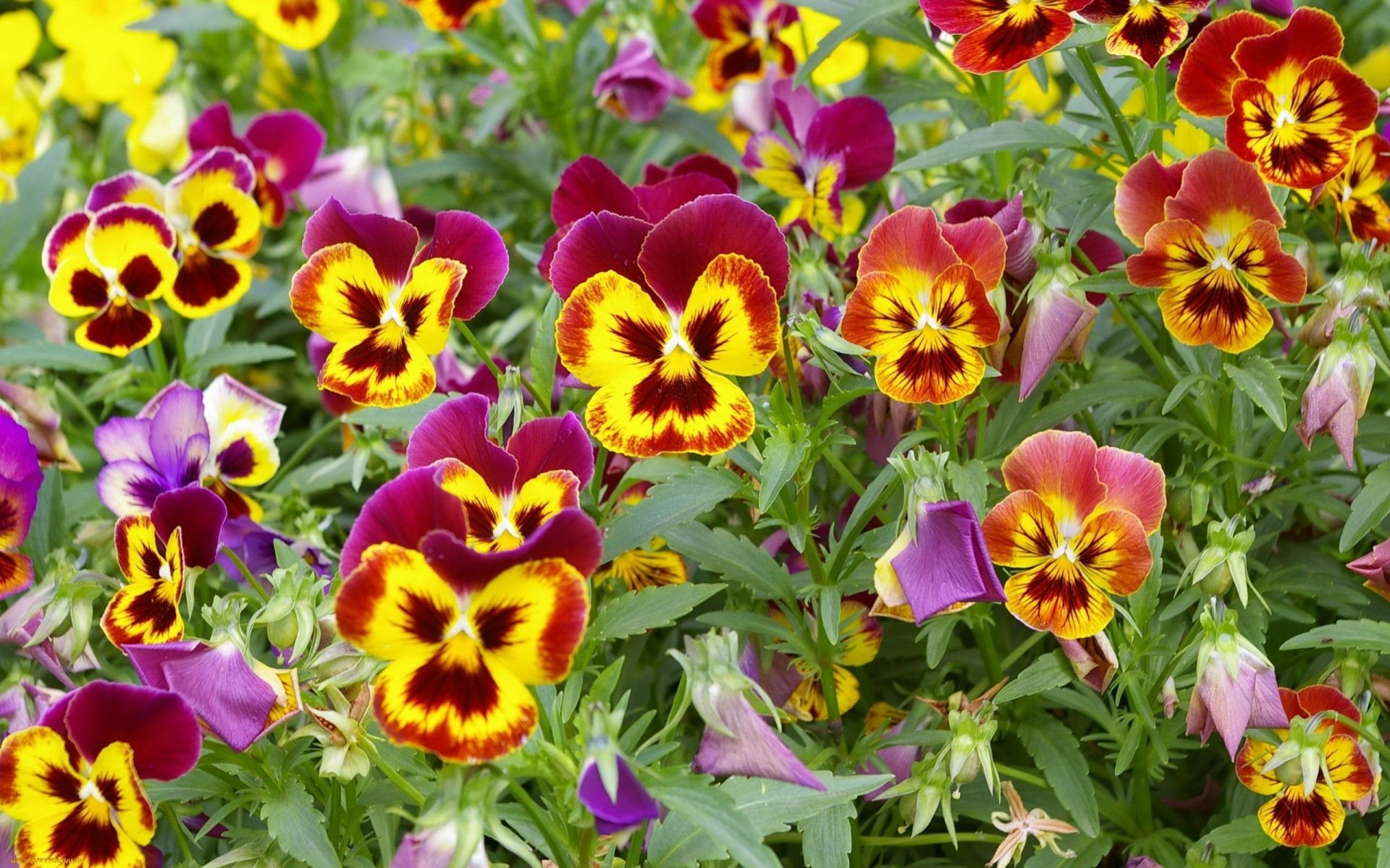 flowers nature flower floral pansy garden flora summer leaf bright viola blooming color petal violet growth botanical outdoors fair weather horticulture