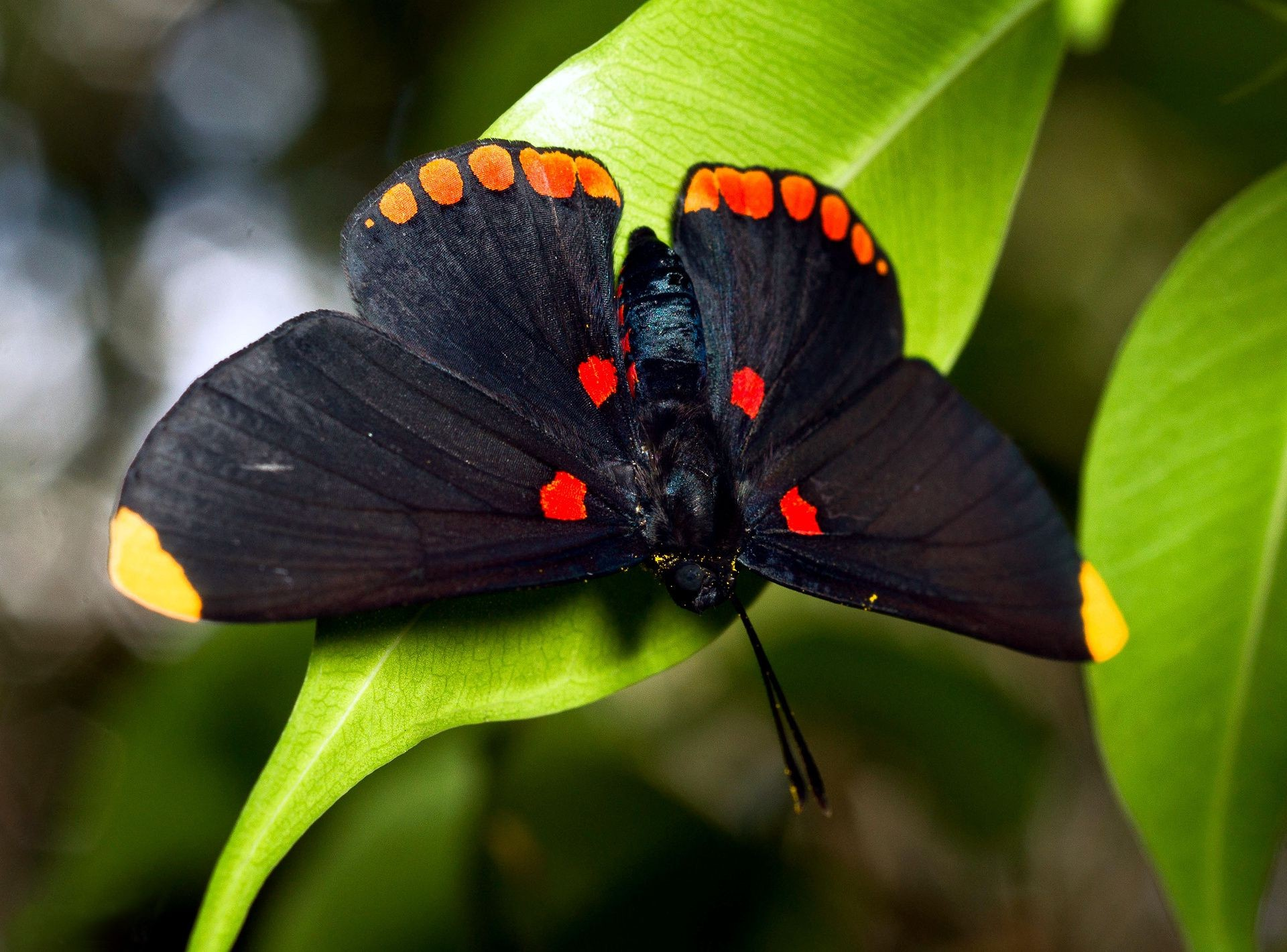 Big black butterfly on the leaf
