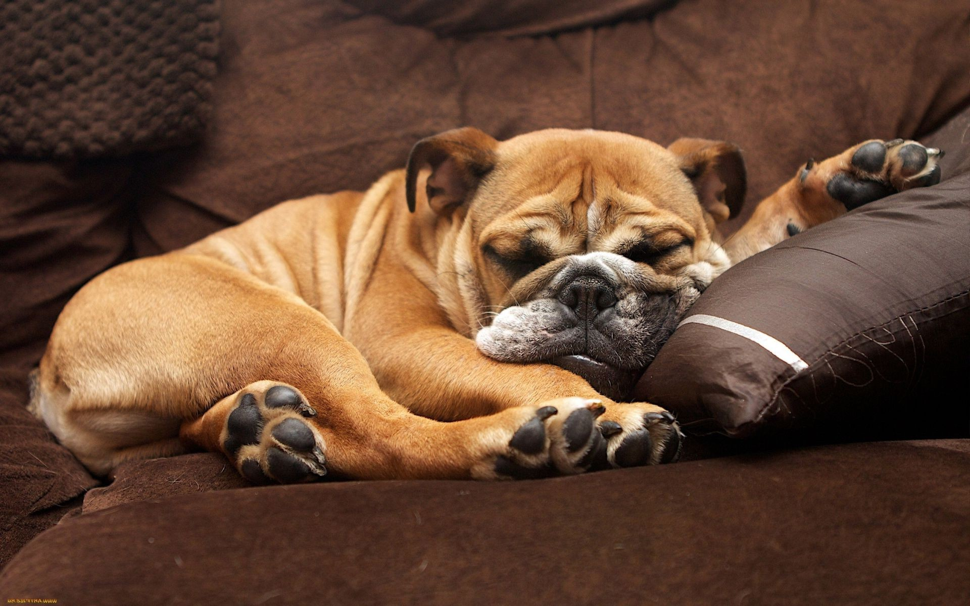dogs dog mammal canine portrait pet one puppy bull sleep