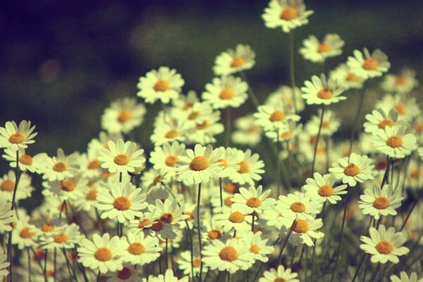 Vintage Daisies Photography